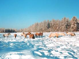 Wild horses in Siberia in winter