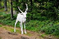 Finland, reindeer in the North